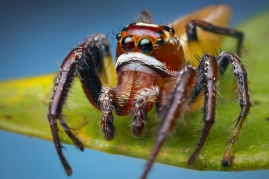 A large male Thiodina sylvana about to leap on the photographer's camera lens.